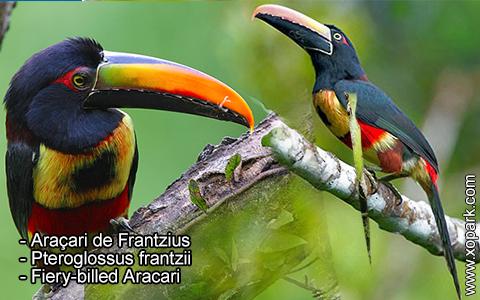 Araçari de Frantzius – Pteroglossus frantzii – Fiery-billed Aracari – xopark4