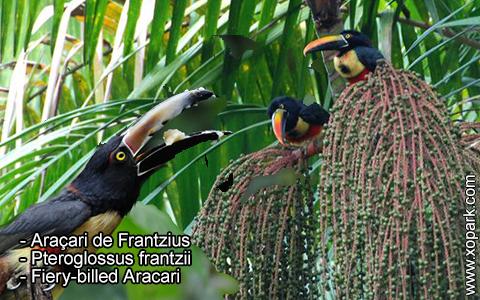 Araçari de Frantzius – Pteroglossus frantzii – Fiery-billed Aracari – xopark5