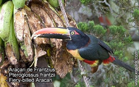 Araçari de Frantzius – Pteroglossus frantzii – Fiery-billed Aracari – xopark6