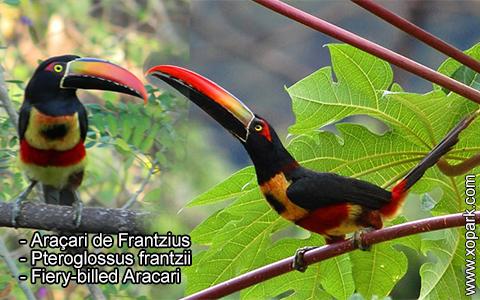 Araçari de Frantzius – Pteroglossus frantzii – Fiery-billed Aracari – xopark8