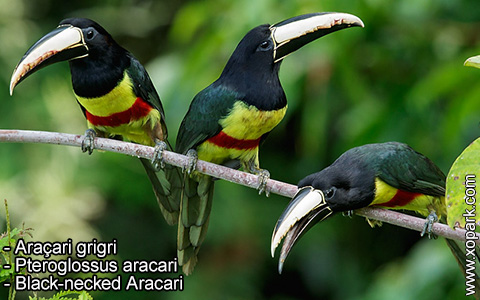 Araçari grigri – Pteroglossus aracari – Black-necked Aracari – xopark6