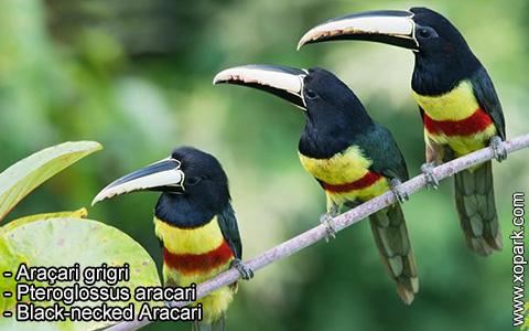 Araçari grigri – Pteroglossus aracari – Black-necked Aracari – xopark7