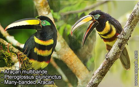 Araçari multibande – Pteroglossus pluricinctus – Many-banded Aracari – xopark2