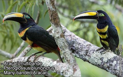 Araçari multibande – Pteroglossus pluricinctus – Many-banded Aracari – xopark8