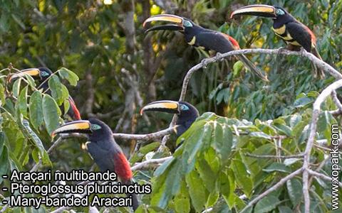 Araçari multibande – Pteroglossus pluricinctus – Many-banded Aracari – xopark9