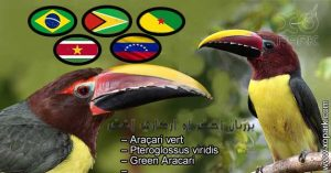 Araçari vert – Pteroglossus viridis – Green Aracari