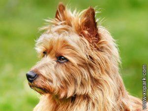 Australian Terrier - Terrier australien - xopark0