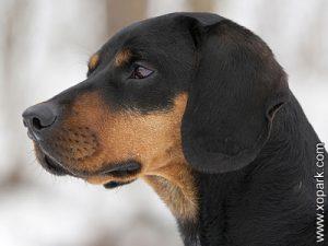 Austrian black and tan hound - Brachet noir et feu