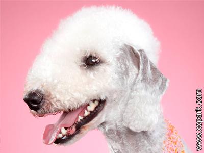 Bedlington Terrier - Rothbury Terrier - Rodbery Terrier - Rothbury's Lamb