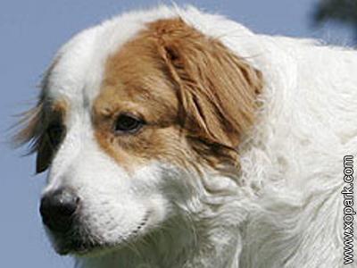 Berger de Bosnie-Herzegovine et de Croatie - Tornjak - Shepherd Dog