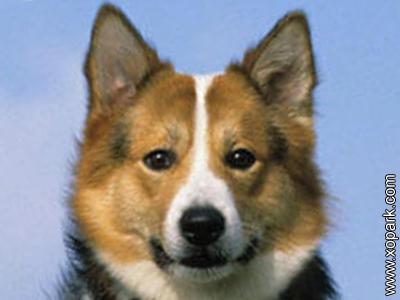 Berger islandais - Iceland Dog