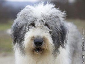 Berger roumain de Mioritza - Romanian Mioritic Shepherd Dog