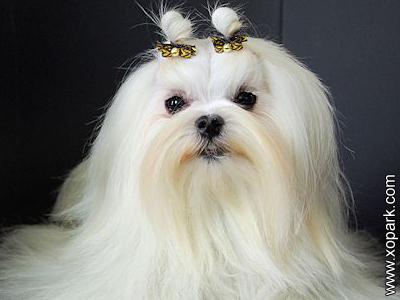 Bichon maltais - Canis familiaris Maelitacus - Maltese, Malteser, Maltezer