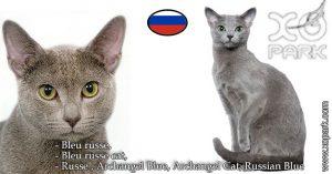 Bleu russe,Bleu russe cat,Russe,Archangel Blue, Archangel Cat,Russian Blue