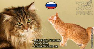 Bobtail des Kouriles, Felis catus,kurilian bobtail cat