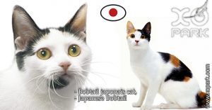 Bobtail japonais - Japanese Bobtail - Félidés (Félins, Felidae)