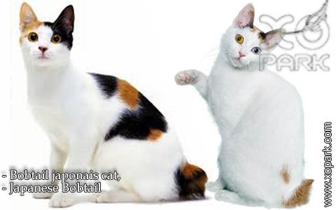 Bobtail japonais cat,Japanese Bobtail – xopark-1