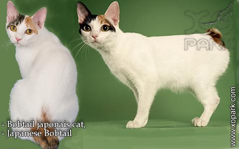 Bobtail japonais cat,Japanese Bobtail – xopark-2