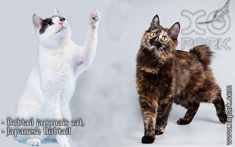 Bobtail japonais cat,Japanese Bobtail – xopark-3