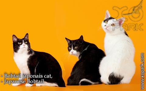 Bobtail japonais cat,Japanese Bobtail – xopark-4