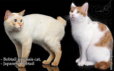 Bobtail japonais cat,Japanese Bobtail – xopark-5