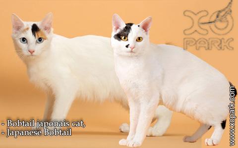 Bobtail japonais cat,Japanese Bobtail – xopark-6