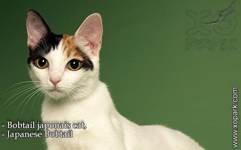 Bobtail japonais cat,Japanese Bobtail – xopark-7