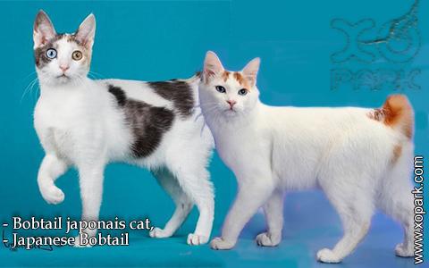 Bobtail japonais cat,Japanese Bobtail – xopark-8
