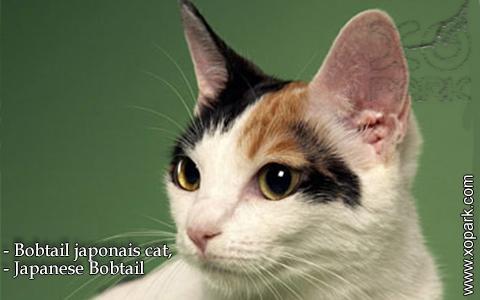 Bobtail japonais cat,Japanese Bobtail – xopark-9