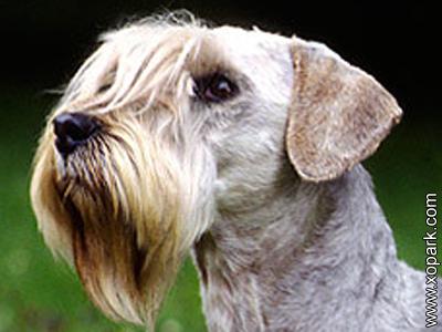 Bohemian Terrier, Cesky Terrier - Bohemian Terrier - Terrier Tchèque