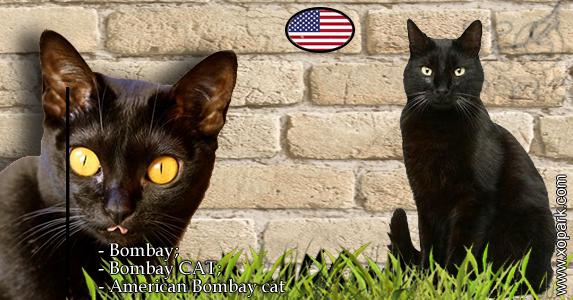 Bombay; Bombay CAT;American Bombay cat