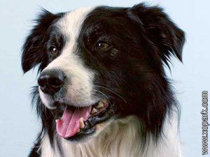 Border collie - Scottish Sheepdog