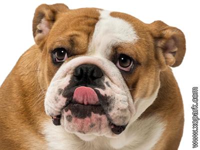 Bouledogue anglais - Bulldog anglais - British Bulldog - English Bulldog
