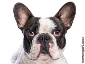 Bouledogue français - Bouledogue - French Bulldog - Frenchie