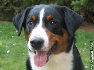 Bouvier appenzellois - Bouvier de l'Appenzell - Appenzell Cattle Dog - Bouvier de l'Appenzell - Appenzeller Sennenhund