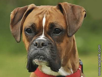 Boxer - German Boxer - Breed boxer - Deutscher Boxer