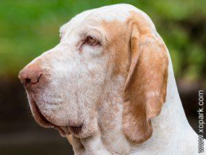 Bracco Italiano - Italian Pointer - Italian Pointing Dog - Braque italien