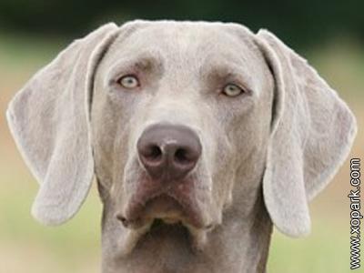 Braque de Weimar - Weimaraner - Weimaraner Vorstehhund -Grey Ghost