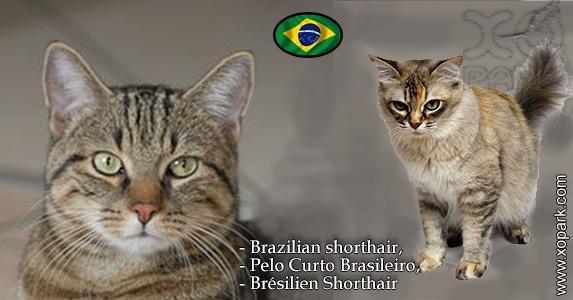 Brazilian shorthair,Pelo Curto Brasileiro,Brésilien Shorthair