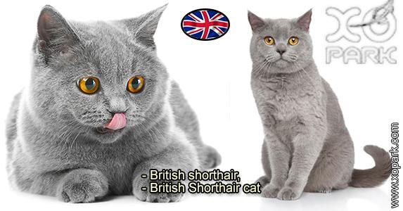 British shorthair - British Shorthair cat - Félidés (Félins, Felidae)