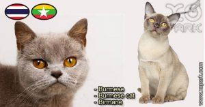 Burmese,Burmese - Burmese cat - Birmane, Félidés (Félins, Felidae)