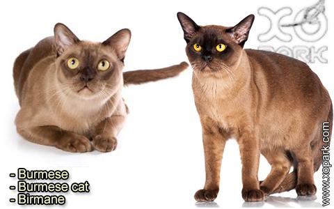 Burmese – Burmese cat – Birmane – xopark-1