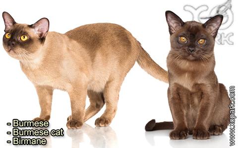 Burmese – Burmese cat – Birmane – xopark-2