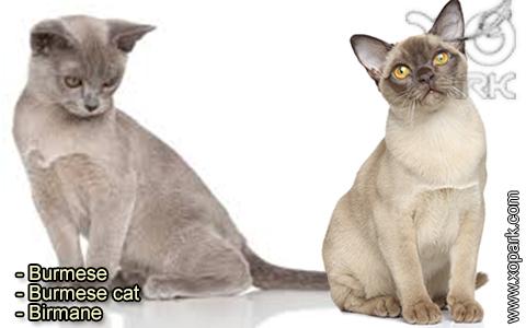 Burmese – Burmese cat – Birmane – xopark-3