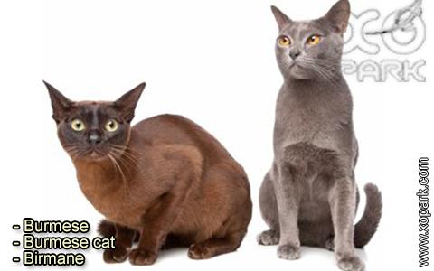 Burmese – Burmese cat – Birmane – xopark-4