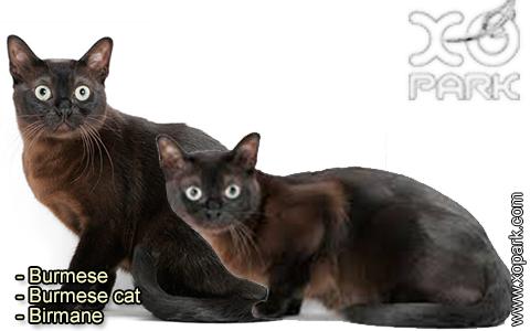 Burmese – Burmese cat – Birmane – xopark-5