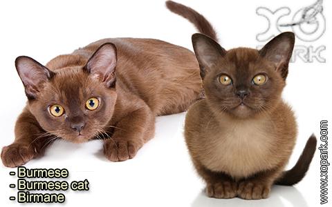 Burmese – Burmese cat – Birmane – xopark-6