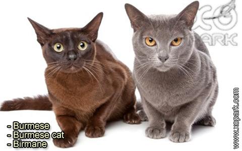 Burmese – Burmese cat – Birmane – xopark-7
