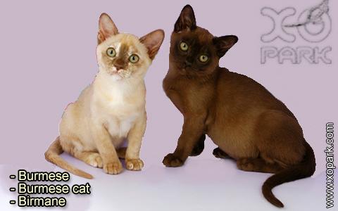 Burmese – Burmese cat – Birmane – xopark-9