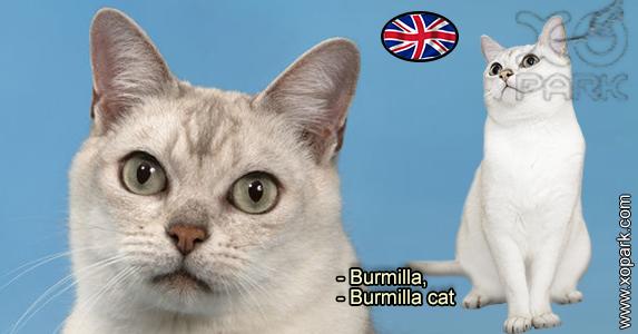 Burmilla - Burmilla cat - Félidés (Félins, Felidae)